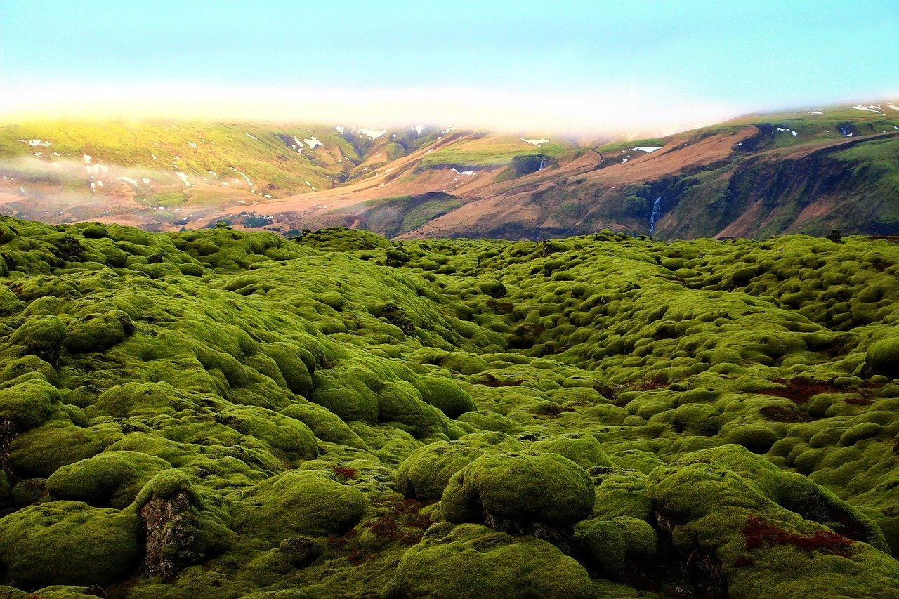 green moss on lava field in Iceland