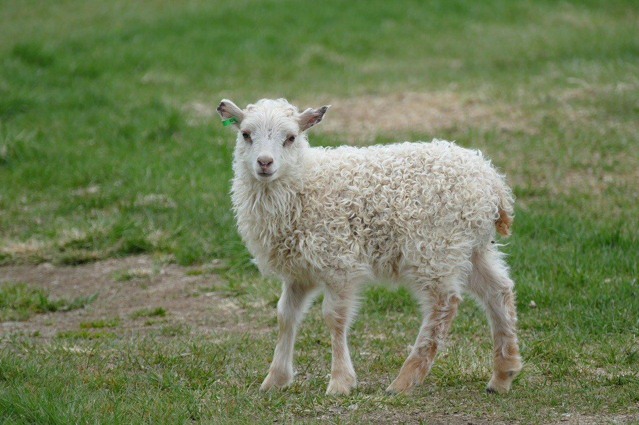 Картинки невинная овечка